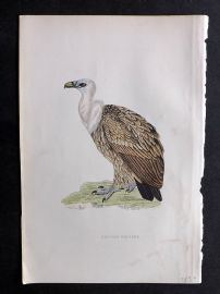 Morris 1897 Antique Hand Col Bird Print. Griffon Vulture